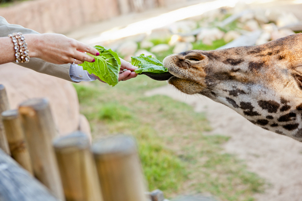 feeding giraffe santa barbara zoo Colourful Zoo Wedding by Jihan Abdalla Photography