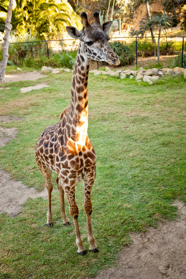 Zoo Wedding Giraffe